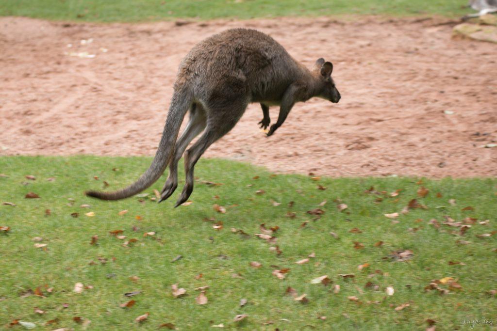 Känguru-Sprung