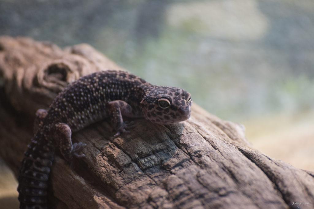 gebogener Gecko