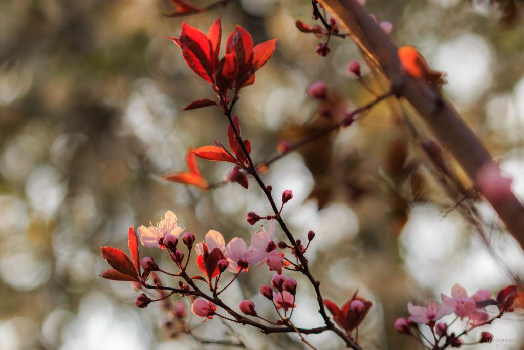 Blutpflaume in Blüte