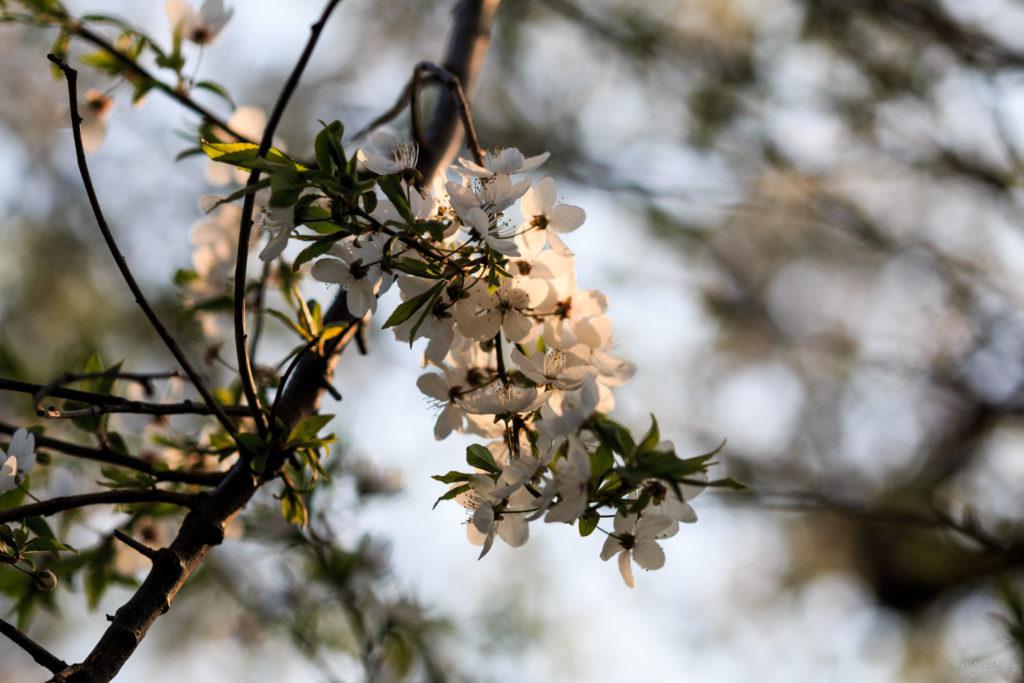 Pflaumensortenblüte