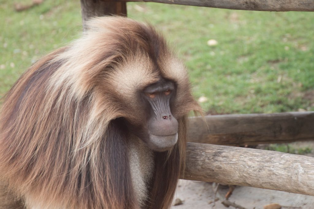 Affe mit vielen Haaren